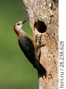Купить «Jamaican woodpecker (Melanerpes radiolatus) takes food back to its chicks. Jamaica, May.», фото № 28238628, снято 23 мая 2018 г. (c) Nature Picture Library / Фотобанк Лори