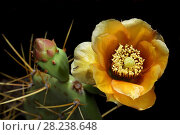 Купить «Prickly pear (Opuntia sp) cactus in flower,  Cayo Romano, Cuba», фото № 28238648, снято 15 августа 2018 г. (c) Nature Picture Library / Фотобанк Лори