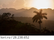 Купить «Landscape of Vinales with Cuban royal palm (Roystonea regia) at sunrise, Cuba, July 2017.», фото № 28238652, снято 19 августа 2018 г. (c) Nature Picture Library / Фотобанк Лори