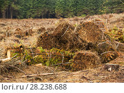 Baling up brashings (dead branches) after timber harvesting on Longridge Fell, Clitheroe, Lancashire, UK, November 2007. The waste wood that would formally... Стоковое фото, фотограф Ashley Cooper / Nature Picture Library / Фотобанк Лори