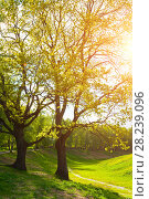 Купить «Spring landscape. Green park trees and sunset light shining through the branches», фото № 28239096, снято 26 мая 2017 г. (c) Зезелина Марина / Фотобанк Лори