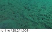 Купить «Leopard Flounder (Bothus pantherinus) floats over the sandy bottom, Red sea, Marsa Alam, Abu Dabab, Egypt», видеоролик № 28241004, снято 24 октября 2017 г. (c) Некрасов Андрей / Фотобанк Лори