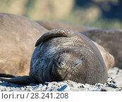 Southern elephant seal (Mirounga leonina), pup on beach. Antarctica, Subantarctica, South Georgia, October. Стоковое фото, фотограф Martin Zwick / age Fotostock / Фотобанк Лори