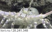 Купить «Spiny lobsters, also known as langustas, langouste», видеоролик № 28241348, снято 13 февраля 2018 г. (c) BestPhotoStudio / Фотобанк Лори