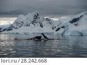 Купить «Humpback Whale feeding krill», фото № 28242668, снято 9 марта 2018 г. (c) Vladimir / Фотобанк Лори