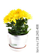 Купить «Жёлтая хризантема в горшке на белом фоне», фото № 28243408, снято 19 августа 2013 г. (c) Литвяк Игорь / Фотобанк Лори