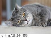 Купить «Кот скоттиш-страйт лежит на полу комнаты», фото № 28244856, снято 1 апреля 2018 г. (c) Григорий Писоцкий / Фотобанк Лори