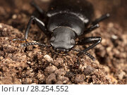 Купить «False mealworm beetle (Alobates pensylvanica) head,  Fort. Washington State Park, Philadelphia, Pennsylvania, USA. April.», фото № 28254552, снято 26 апреля 2018 г. (c) Nature Picture Library / Фотобанк Лори