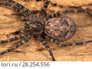 Купить «Fishing spider (Dolomedes tenebrosus) hiding in log, Wissahickon Valley Park, Pennsylvania, USA,  June.», фото № 28254556, снято 25 апреля 2018 г. (c) Nature Picture Library / Фотобанк Лори