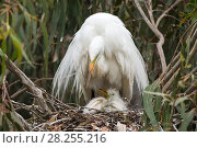 Купить «Great egret (Ardea alba) using wings to shield chicks, aged one week, in nest, Sonoma County, California, USA. *Digitally removed twig in foreground.», фото № 28255216, снято 14 августа 2018 г. (c) Nature Picture Library / Фотобанк Лори