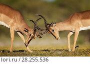 Купить «Black-faced impala (Aepyceros melampus petersi) two males fighting. Etosha National Park, Namibia, March.», фото № 28255536, снято 20 августа 2018 г. (c) Nature Picture Library / Фотобанк Лори