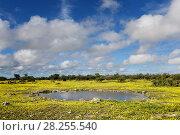 Купить «Klein Okevi waterhole covered by Devil's-thorn yellow flowers  (Tribulus terrestris) Etosha National Park, Namibia, March 2016», фото № 28255540, снято 27 мая 2018 г. (c) Nature Picture Library / Фотобанк Лори