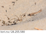 Купить «Female Saddleback harvestman (Mitopus morio) walking on dunes in coastal heathland, Studland Heath, Dorset, UK, July.», фото № 28255580, снято 2 июня 2020 г. (c) Nature Picture Library / Фотобанк Лори