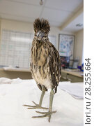 Купить «Black-crowned night heron (Nycticorax nycticorax) chick, aged 2 weeks, International Bird Rescue, Fairfield, California, USA.», фото № 28255664, снято 15 августа 2018 г. (c) Nature Picture Library / Фотобанк Лори