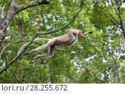 Купить «Proboscis monkey (Nasalis larvatus) leaping between trees, Sabah, Malaysia.», фото № 28255672, снято 14 августа 2018 г. (c) Nature Picture Library / Фотобанк Лори
