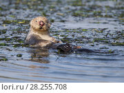 Купить «Sea otter (Enhydra lutris) female with nose injury from bite from male while mating, Monterey, California, USA.», фото № 28255708, снято 21 сентября 2019 г. (c) Nature Picture Library / Фотобанк Лори