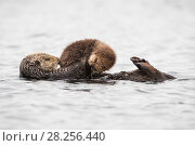 Купить «Southern Sea otter (Enhydra lutris) mother holding young pup (less than one week in age), Monterey Bay, California, USA.», фото № 28256440, снято 21 сентября 2019 г. (c) Nature Picture Library / Фотобанк Лори