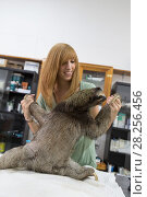 Купить «Brown-throated Three-toed sloth (Bradypus variegatus) being examined by Rebecca Cliff, Sloth Biologist, prior to putting on a sloth backpack radio collar...», фото № 28256456, снято 21 июля 2018 г. (c) Nature Picture Library / Фотобанк Лори