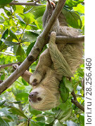 Hoffmann's Two-toed sloth (Choloepus hoffmanni) mother and baby, aged 2 months, in tree, Costa Rica. Rescued and released by Aviarios Sloth Sanctuary. Стоковое фото, фотограф Suzi Eszterhas / Nature Picture Library / Фотобанк Лори