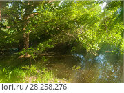 Купить «Summer forest landscape - old desiduous oak tree on the bank of the small forest river in sunny day», фото № 28258276, снято 12 июня 2011 г. (c) Зезелина Марина / Фотобанк Лори