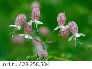 Купить «Bladder campion (Silene vulgaris) flowers, Italy, July», фото № 28258504, снято 21 июля 2018 г. (c) Nature Picture Library / Фотобанк Лори