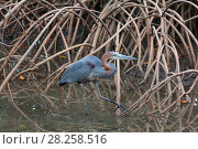 Купить «Goliath Heron (Ardea goliath) among Red mangrove (Rhizophora mangle). Gambia, Africa.», фото № 28258516, снято 27 января 2020 г. (c) Nature Picture Library / Фотобанк Лори