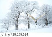 Купить «Barn owl (Tyto alba) flying in snow covered countryside, Surrey, England, UK, January. Digital composite.», фото № 28258524, снято 25 сентября 2018 г. (c) Nature Picture Library / Фотобанк Лори