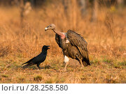 Купить «White-rumped Vulture (Gyps bengalensis) with large-billed Crow (Corvus macrorhynchos). Preah Vihear Protected Forest, Cambodia. Picture taken during filming for BBC 'Lands of the Monsoon' TV series.», фото № 28258580, снято 26 сентября 2018 г. (c) Nature Picture Library / Фотобанк Лори