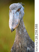 Купить «Whale headed / Shoebill (Balaeniceps rex) portrait. Swamps of Mabamba, Lake Victoria, Uganda.», фото № 28258588, снято 18 июня 2019 г. (c) Nature Picture Library / Фотобанк Лори