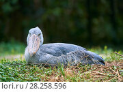 Купить «Shoebill stork (Balaeniceps rex) on the nest in the swamps of Mabamba, Lake Victoria, Uganda», фото № 28258596, снято 18 июня 2019 г. (c) Nature Picture Library / Фотобанк Лори