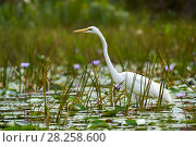 Купить «Great egret (Ardea alba) in the swamps of Mabamba, lake Victoria, Uganda.», фото № 28258600, снято 17 февраля 2020 г. (c) Nature Picture Library / Фотобанк Лори