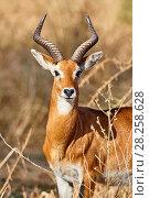 Купить «Male Uganda kob portrait (Kobus kob thomasi) Murchisson Falls National Park, Uganda», фото № 28258628, снято 21 июля 2019 г. (c) Nature Picture Library / Фотобанк Лори