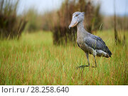 Купить «Shoebill stork (Balaeniceps rex) in the swamps of Mabamba, Lake Victoria, Uganda», фото № 28258640, снято 27 июня 2019 г. (c) Nature Picture Library / Фотобанк Лори