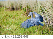 Купить «Shoebill stork (Balaeniceps rex) with wings raised in the swamps of Mabamba, Lake Victoria, Uganda», фото № 28258648, снято 18 июня 2019 г. (c) Nature Picture Library / Фотобанк Лори