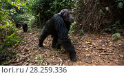 Купить «Eastern chimpanzee (Pan troglodytes schweinfurtheii) male 'Faustino' aged 23 years walking along a track. Gombe National Park, Tanzania.», фото № 28259336, снято 20 января 2020 г. (c) Nature Picture Library / Фотобанк Лори