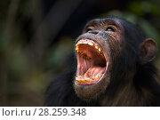Купить «Eastern chimpanzee (Pan troglodytes schweinfurtheii) juvenile male 'Tom' aged 11 years yawning portrait. Gombe National Park, Tanzania.», фото № 28259348, снято 20 января 2020 г. (c) Nature Picture Library / Фотобанк Лори