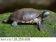 Купить «Seychelles black mud turtle (Pelusios subniger parietalis),Victoria Botanical Garden, Mahe Island, Republic of Seychelles. Captive.  Critically endangered,», фото № 28259608, снято 21 августа 2018 г. (c) Nature Picture Library / Фотобанк Лори