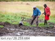 Купить «Safari driver and Masai man rescuing an Impala (Aepyceros melampus) stuck in  mud, Masai Mara, Kenya.», фото № 28259684, снято 23 июля 2018 г. (c) Nature Picture Library / Фотобанк Лори