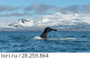 Купить «Sperm whale (Physeter macrocephalus) off the Snaefellsnes Peninsula, Iceland. April.», фото № 28259864, снято 19 августа 2018 г. (c) Nature Picture Library / Фотобанк Лори