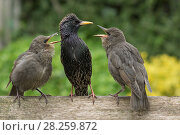 Купить «Starling (Sturnus vulgaris) feeding fledgling chicks in urban garden. Greater Manchester, UK. May.», фото № 28259872, снято 16 августа 2018 г. (c) Nature Picture Library / Фотобанк Лори