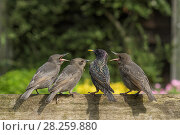 Купить «RF - Starling (Sturnus vulgaris) feeding fledgling chicks  in urban garden. Greater Manchester, UK. May.», фото № 28259880, снято 16 августа 2018 г. (c) Nature Picture Library / Фотобанк Лори