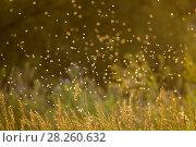 Купить «Caddisfly (Brachycentrus occidentalis) swarm in mating flight on summer evening over the Madison River, Montana, USA, July.», фото № 28260632, снято 22 июля 2018 г. (c) Nature Picture Library / Фотобанк Лори