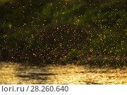 Купить «Caddisfly (Brachycentrus occidentalis) swarm in mating flight on summer evening over the  Madison River, Montana, USA, July.», фото № 28260640, снято 22 июля 2018 г. (c) Nature Picture Library / Фотобанк Лори