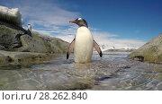 Купить «Gentoo Penguin jump out the water», видеоролик № 28262840, снято 4 января 2018 г. (c) Vladimir / Фотобанк Лори