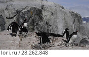 Купить «Gentoo Penguins on the nest», видеоролик № 28262848, снято 20 февраля 2018 г. (c) Vladimir / Фотобанк Лори