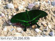 Купить «Бабочка парусник парис (Papilio paris)», фото № 28266836, снято 24 марта 2018 г. (c) Ирина Яровая / Фотобанк Лори