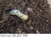 Купить «Личинка майского жука. Хрущ майский (Melolontha vulgaris)», фото № 28267704, снято 20 мая 2017 г. (c) Ольга Сейфутдинова / Фотобанк Лори