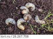 Купить «Личинки майского жука. Хрущ майский (Melolontha vulgaris)», фото № 28267708, снято 20 мая 2017 г. (c) Ольга Сейфутдинова / Фотобанк Лори