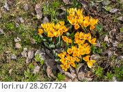 Купить «Желтые крокусы», фото № 28267724, снято 26 апреля 2015 г. (c) Ольга Сейфутдинова / Фотобанк Лори