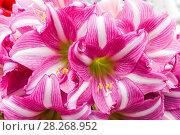 Купить «Europe, Netherlands, Lisse, Keukenhof Gardens, Amaryllis Flower», фото № 28268952, снято 22 мая 2019 г. (c) age Fotostock / Фотобанк Лори